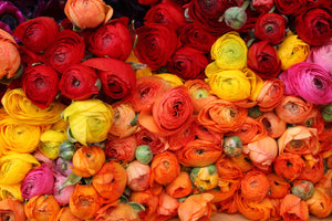 Colorful Ranunculus For Sale in Paris - Every Day Paris