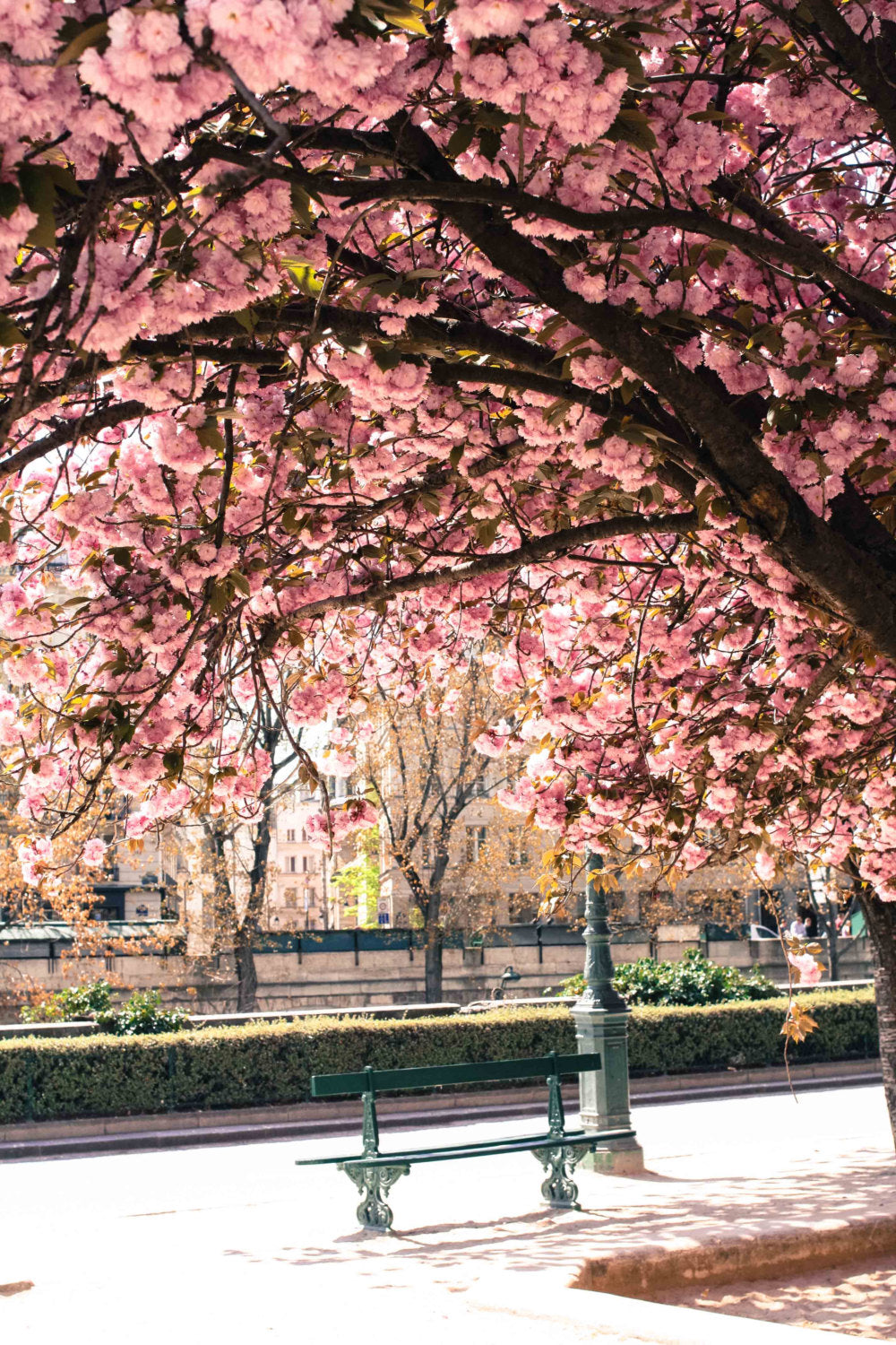 Underneath the Cherry Blossoms in Paris
