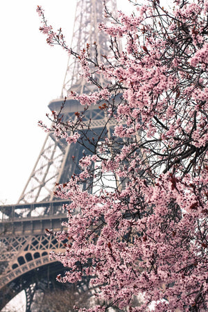 Pink Cherry Blossoms in front of the Eiffel Tower - Every Day Paris