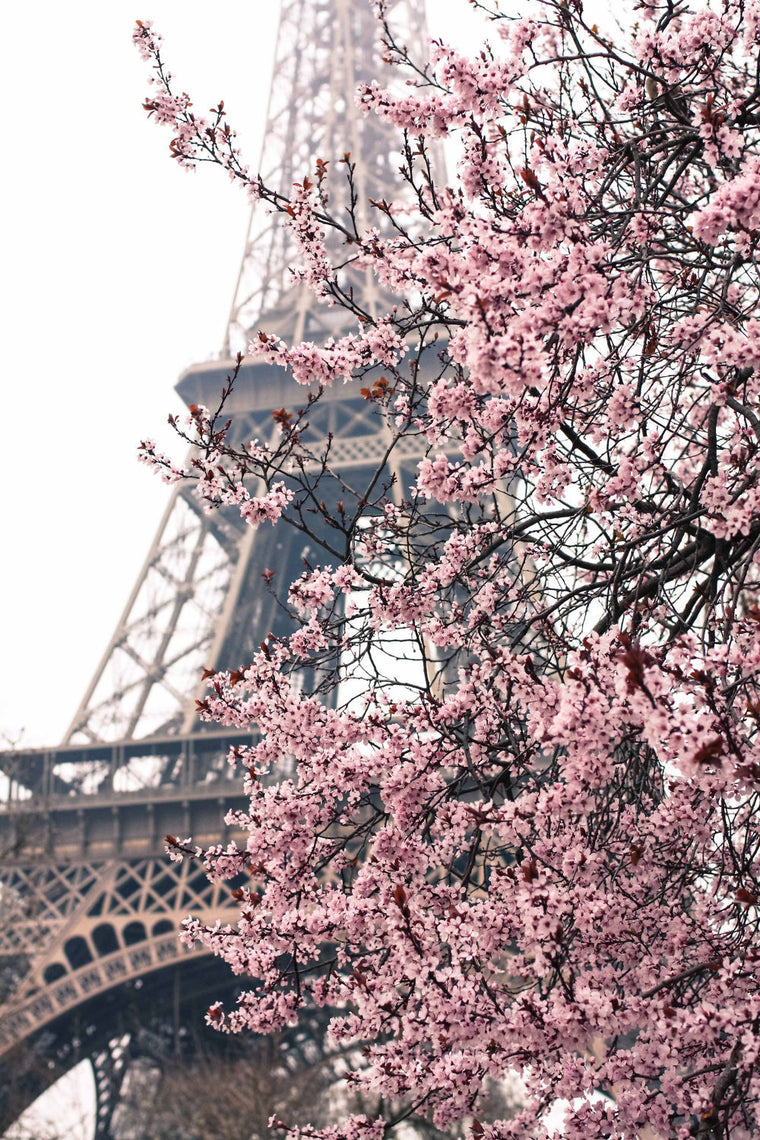 Pink Cherry Blossoms in front of the Eiffel Tower