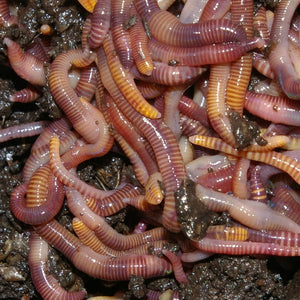Composting Worms (250 grams)