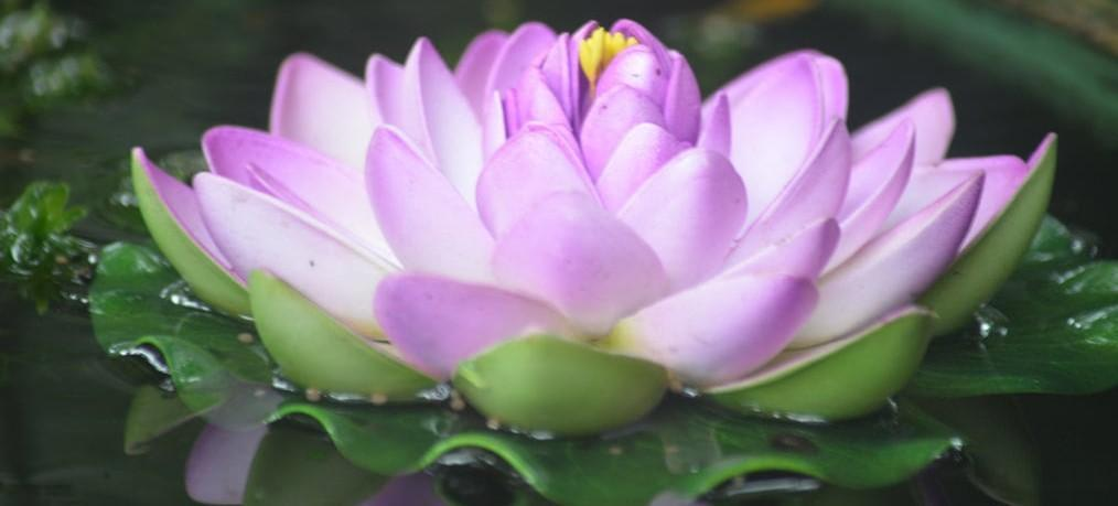 Spiritual Meaning of the Lotus Flower.