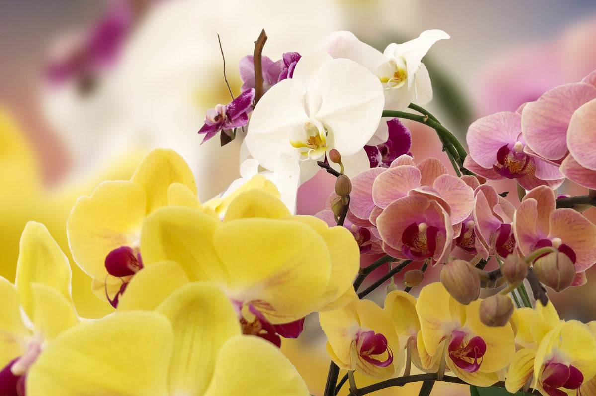The Beauty Of Orchids And The Significance Of Their Colors
