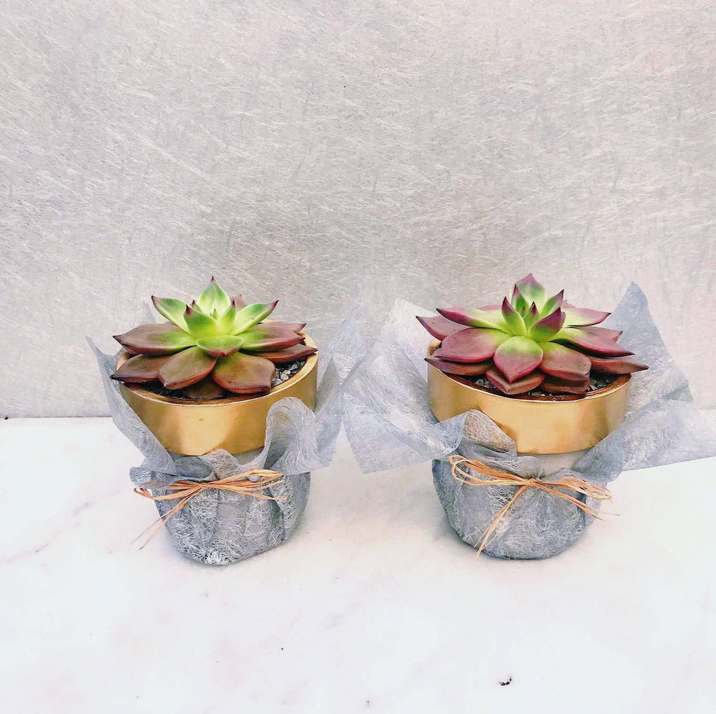Buy Succulent Arrangement Online MiniGardens.ae Free Delivery Dubai, United Arab Emirates.