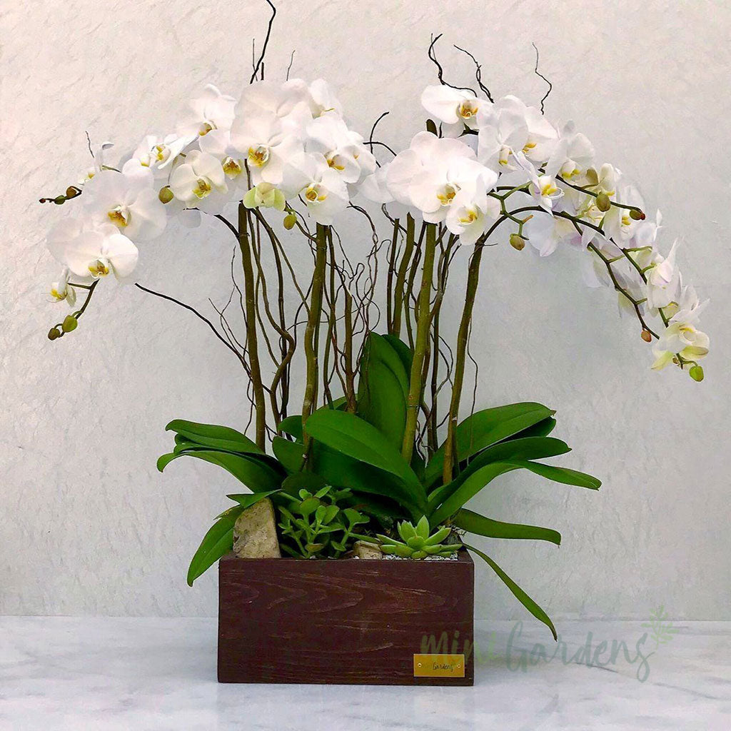 Orchid Majesty Flowers Gifts Plants Gardens Dubai UAE MiniGardens.ae