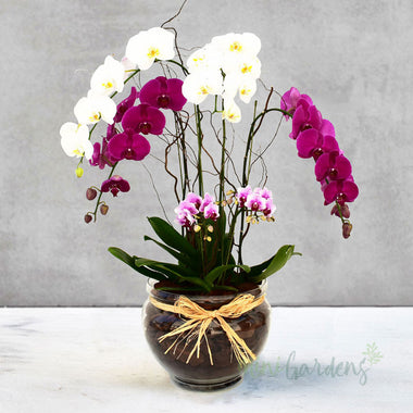 Orchid Brilliance