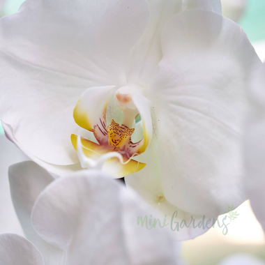 Buy Orchid Goddess Flowers Gifts MiniGardens.ae Free Delivery Dubai United Arab Emirates