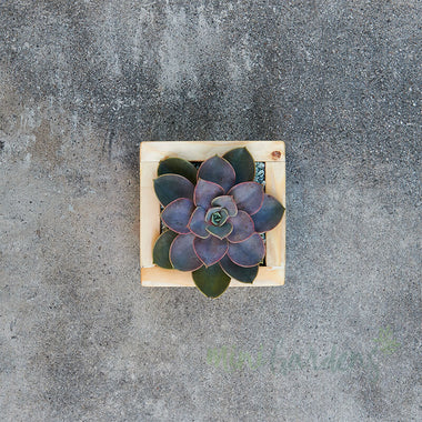 Rustic Garden (Solo) Succulent (Wood Square Small) Minigardens.ae Free Shipping Dubai United Arab Emirates