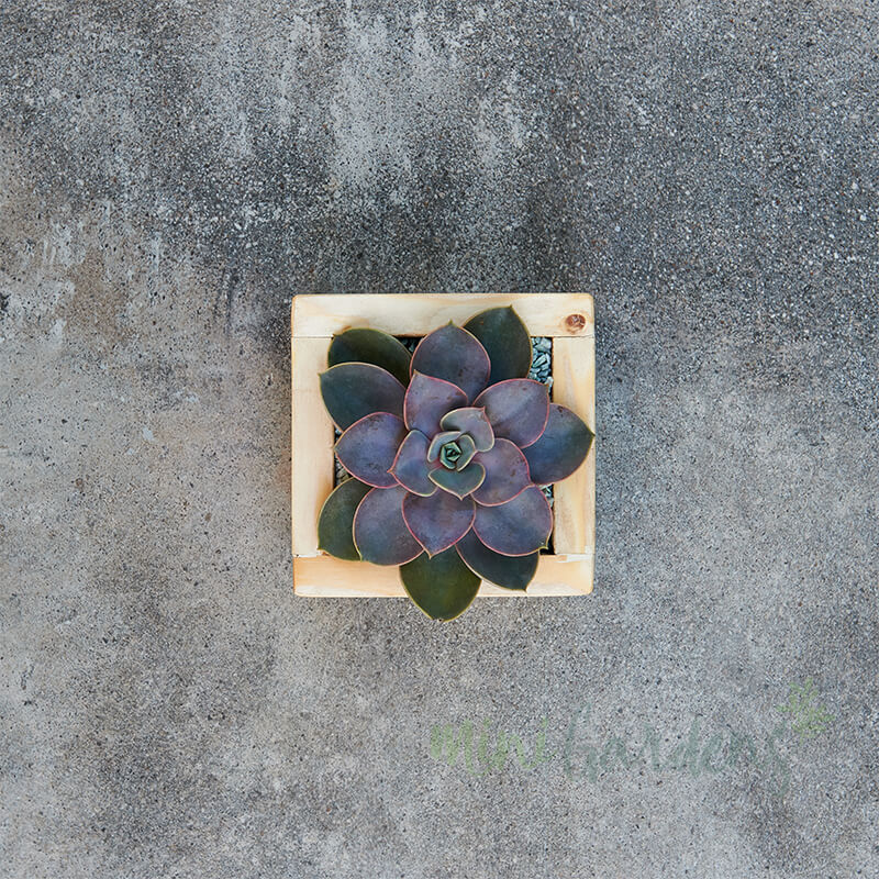 Rustic Garden (Solo) Succulent (Wood Square Small) Minigardens.ae Free Shipping Dubai United Arab Emirates Checkout Corporate Gifts Flowers