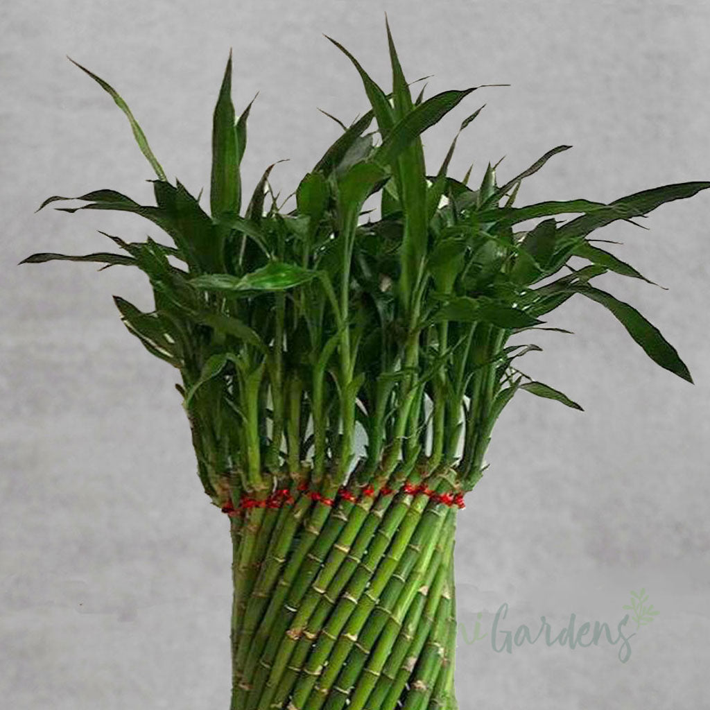 Lucky Bamboo Indoor Plant