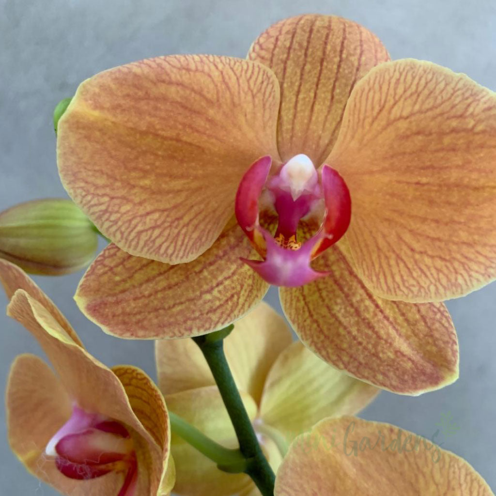 Orchid Bliss