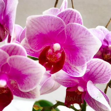 Orchid Blossom Flowers Gifts Orchids Free Delivery Dubai MiniGardens.ae