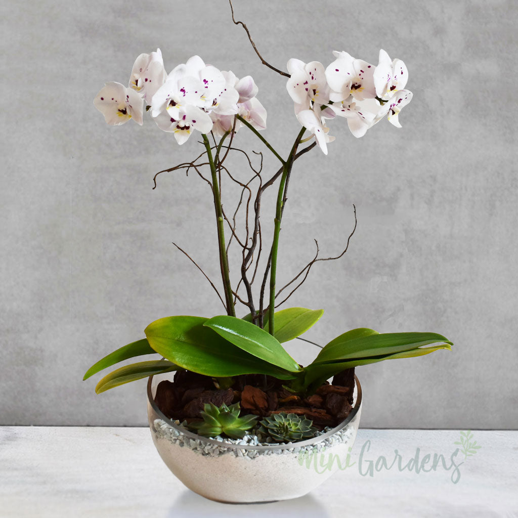 Orchid Beauty - Birthday Gift
