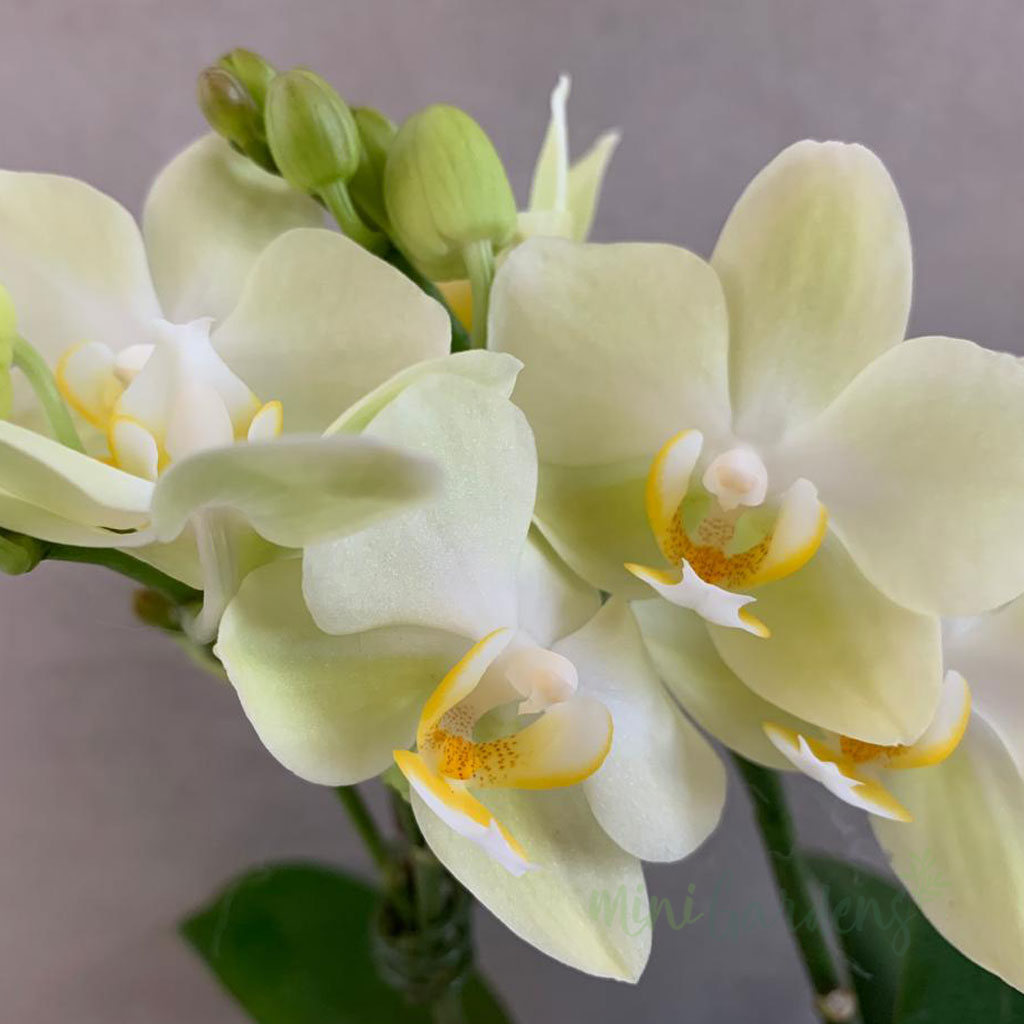 Orchid Sublime - Birthday Gift