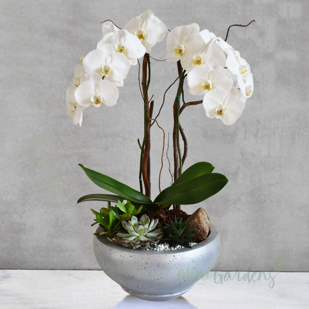 Buy Orchids Online Free Same Day Express Delivery in Dubai