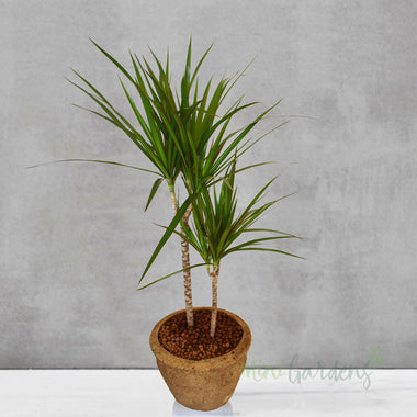 Buy Indoor Plant gifts Online MiniGardens.ae Free Delivery Dubai, United Arab Emirates.