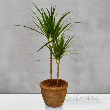 Dracaena (Dragon Tree)