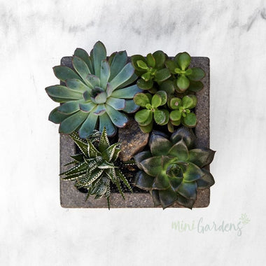 Succulent City Garden Succulents (Concrete Square Medium) Minigardens.ae Free Shipping Dubai United Arab Emirates All Minigardens Concrete