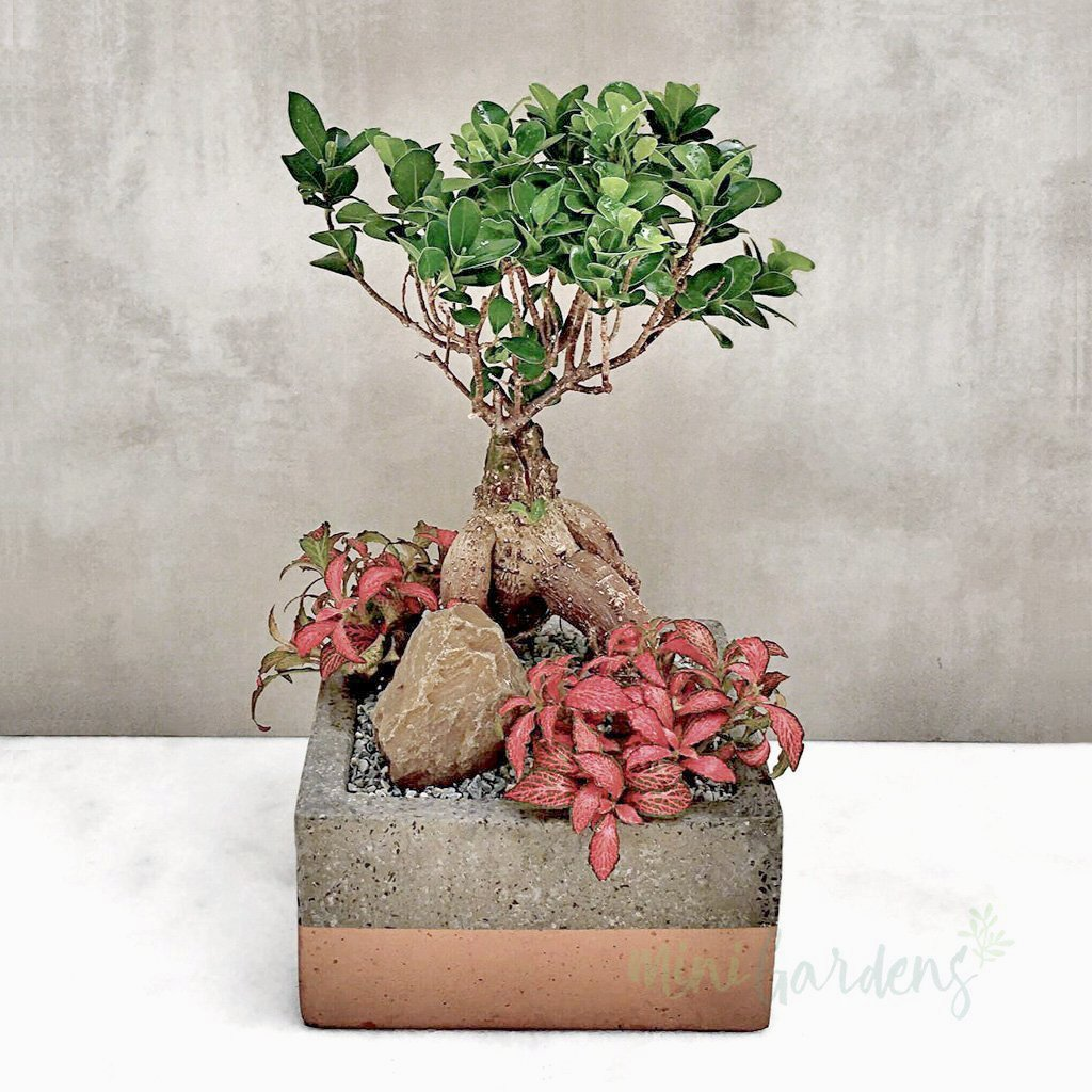 Ficus Shade Succulents Plants Gifts MiniGardens.ae Delivery Dubai Sharjah United Arab Emirates