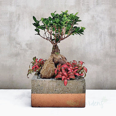 Ficus Shade Plant Gift