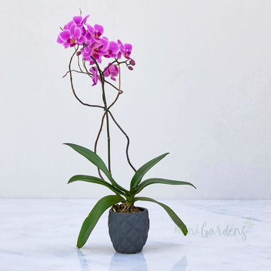 Mini Orchid - single stem