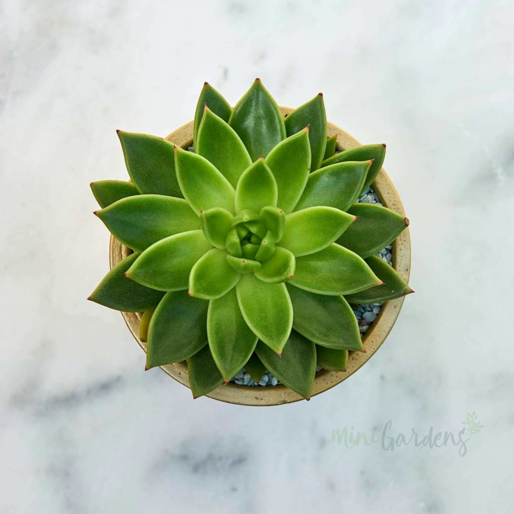 Golden Jewel Succulent (Terracotta Round Small) Minigardens.ae Free Shipping Dubai United Arab Emirates Checkout Corporate Gifts Flowers