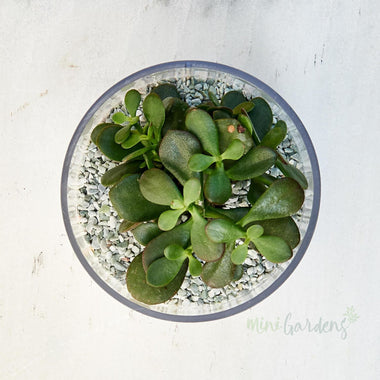 Grace Succulent (Glass Curved Small) Minigardens.ae Free Shipping Dubai United Arab Emirates