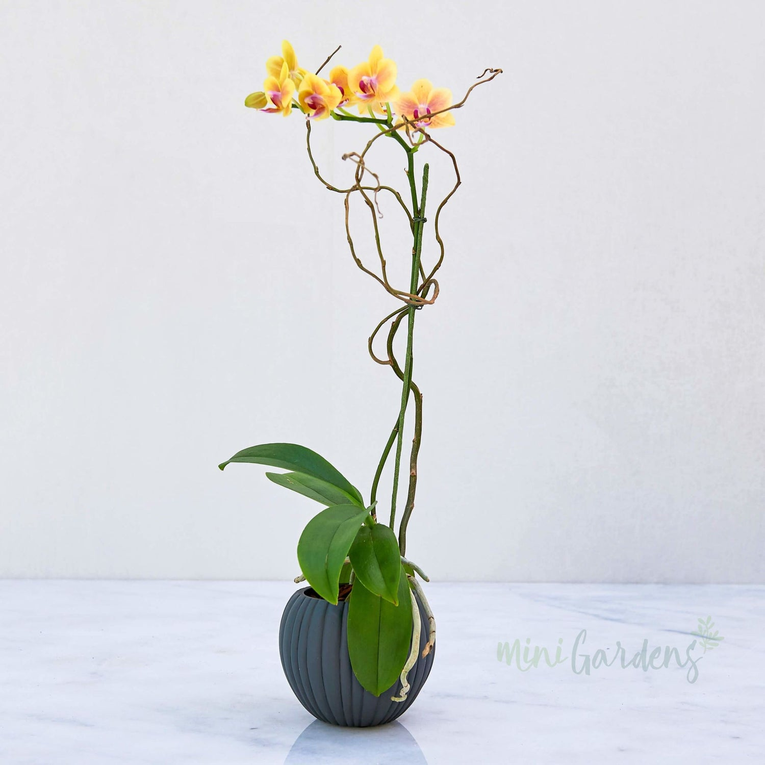 Orchid Beauty Mini Orchid (Fibre Concrete Small) Minigardens.ae Free Shipping Dubai United Arab Emirates Checkout Corporate Gifts Flowers