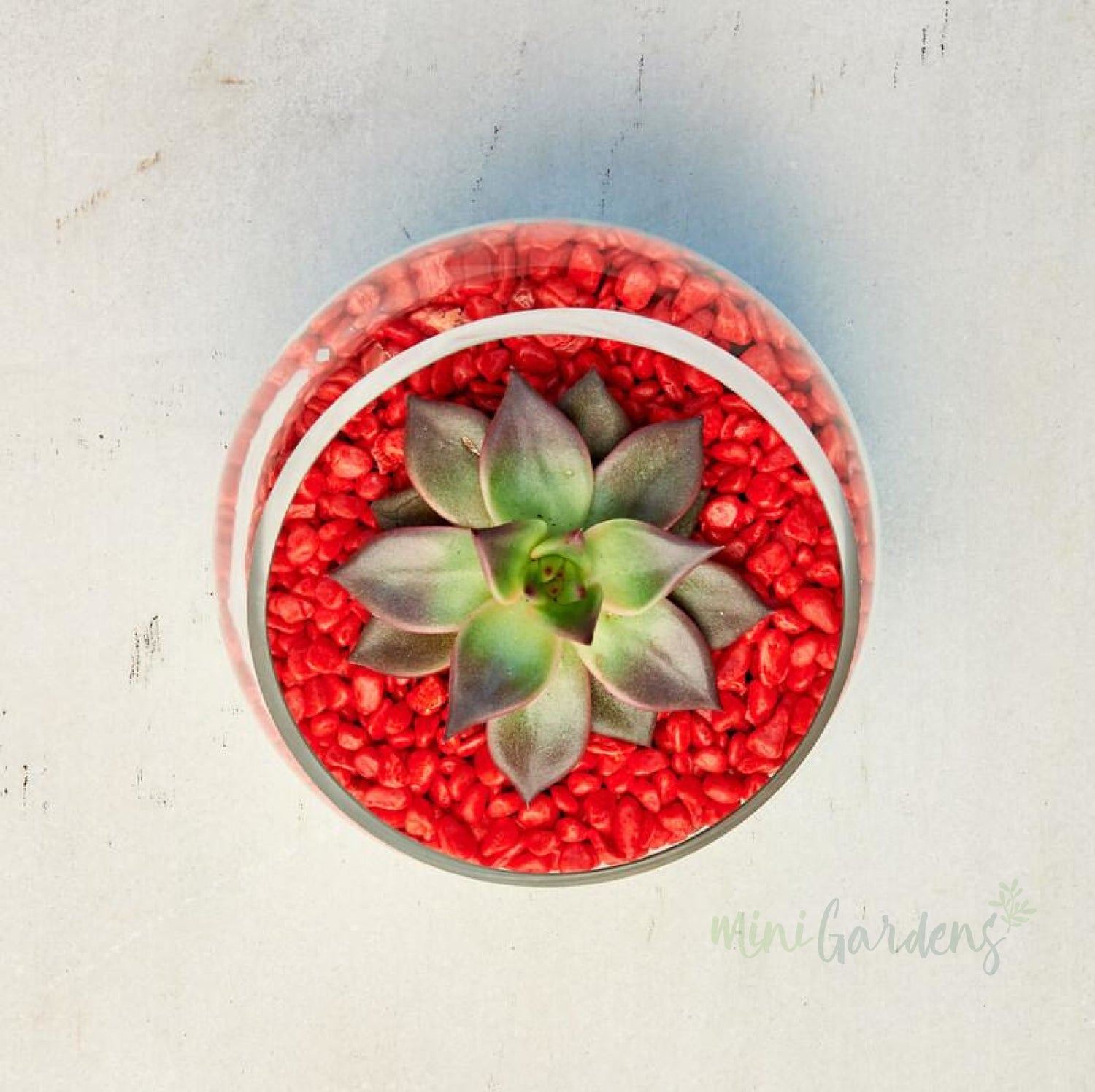 National Day Succulent (Half Moon Glass Bowl Small) Minigardens.ae Free Shipping Dubai United Arab Emirates All Minigardens Corporate