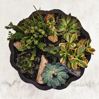 Buy Succulents Online Minigardens.ae Free Shipping Dubai United Arab Emirates All Minigardens Corporate