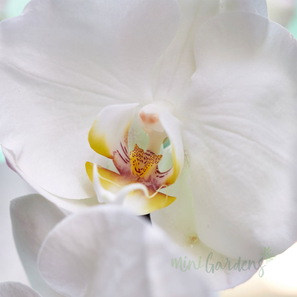Supply of Orchids