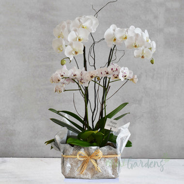 Orchid Classique - Birthday Gift