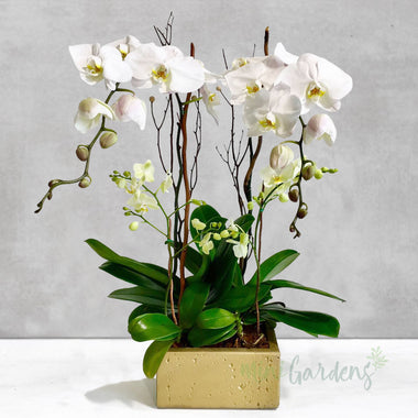 Buy Orchids Online Free Delivery in Dubai