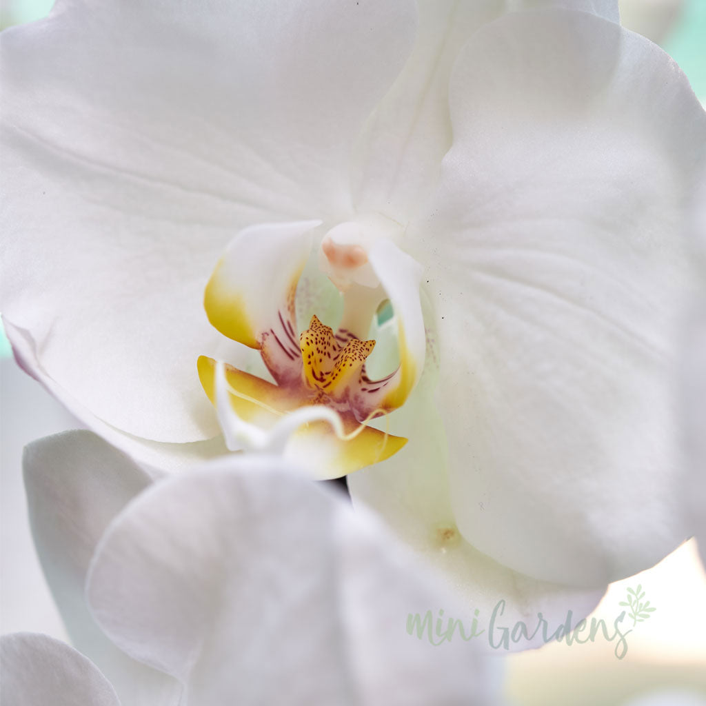 Orchid Passion(Clear Glass)