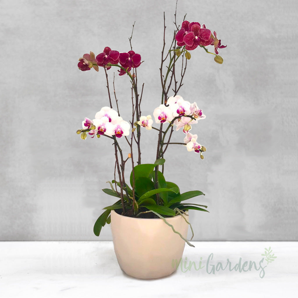 Buy Orchids Gifts online Dubai Minigardens UAE