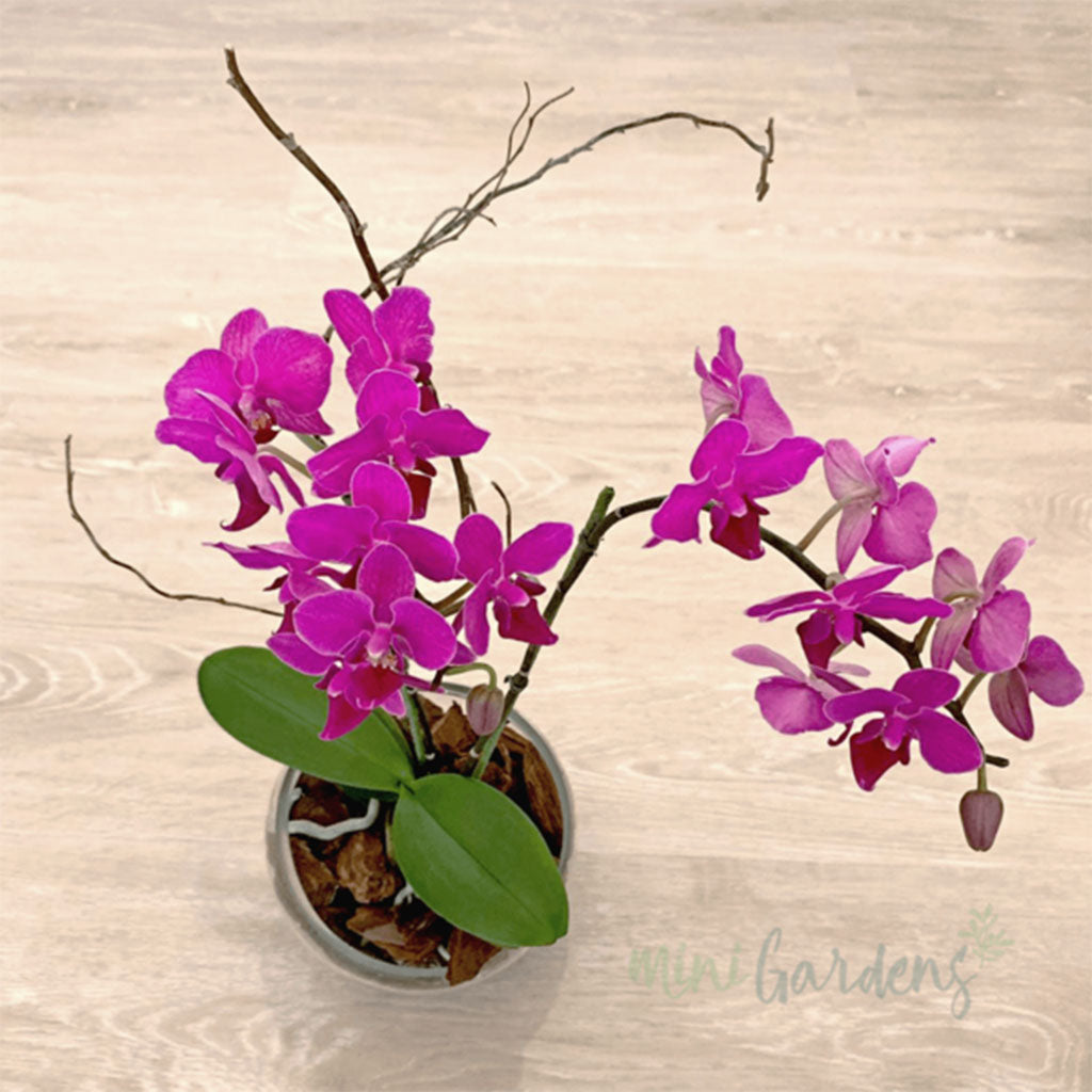 Send Orchids Online - Orchids Dubai - Free Delivery in Dubai