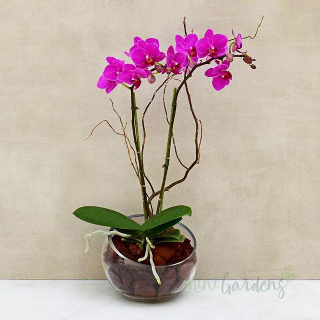 Buy Orchids Online - Orchids Dubai - Free Delivery in Dubai