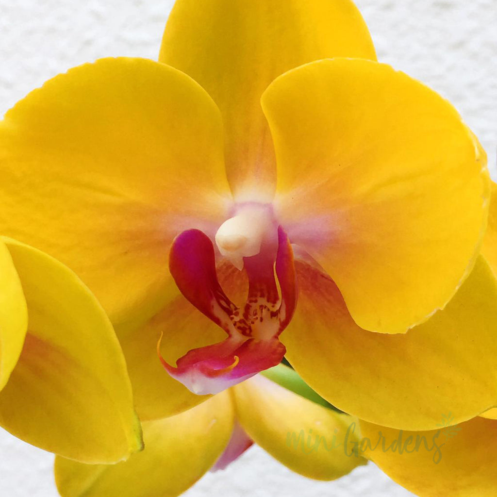 Order Online Orchids Online Free Delivery in Dubai