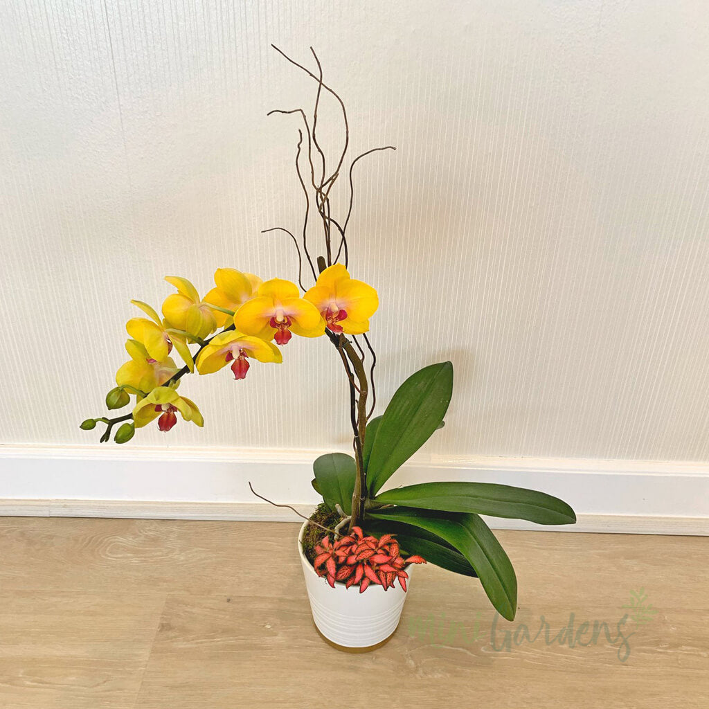 Order Online Orchids Free Delivery in Dubai MiniGarden UAE