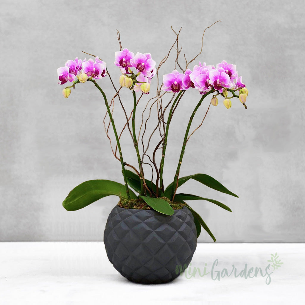 Buy and Send  beautiful Orchids Flower Gifts created by MiniGardens.ae Free Delivery in Dubai