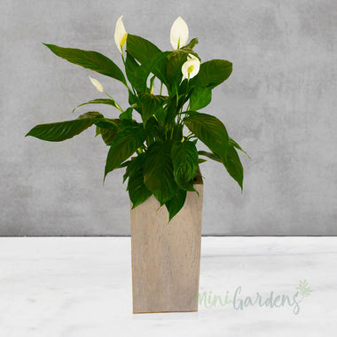 indoor plants online - mini garden