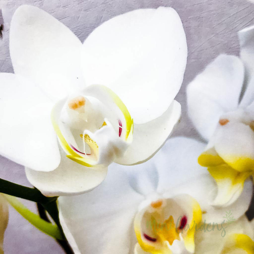 Send Online beautiful Orchids Flower Gifts created by MiniGardens.ae Free Delivery in Dubai