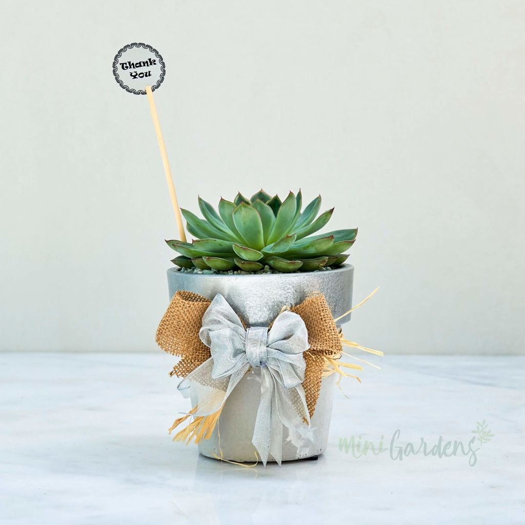 Silver Jewel Succulent (Terracotta Round Small) Minigardens.ae Free Shipping Dubai United Arab Emirates Checkout Corporate Gifts Flowers