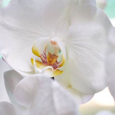 Orchid Majesty