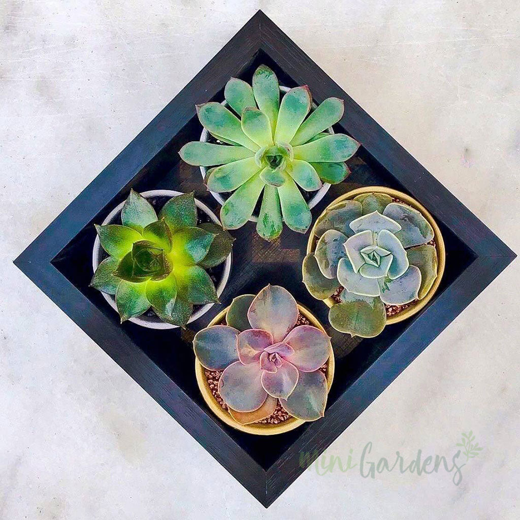 Tiny Garden Gift (Set of 4) Succulents Gifts Order Online MiniGardens.ae Free Delivery in Dubai, UAE.