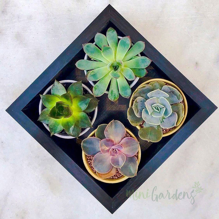 Tiny Succulent Garden Gift (Set Of Four) Succulents (Wood Square Small) Minigardens.ae Free Shipping Dubai United Arab Emirates All