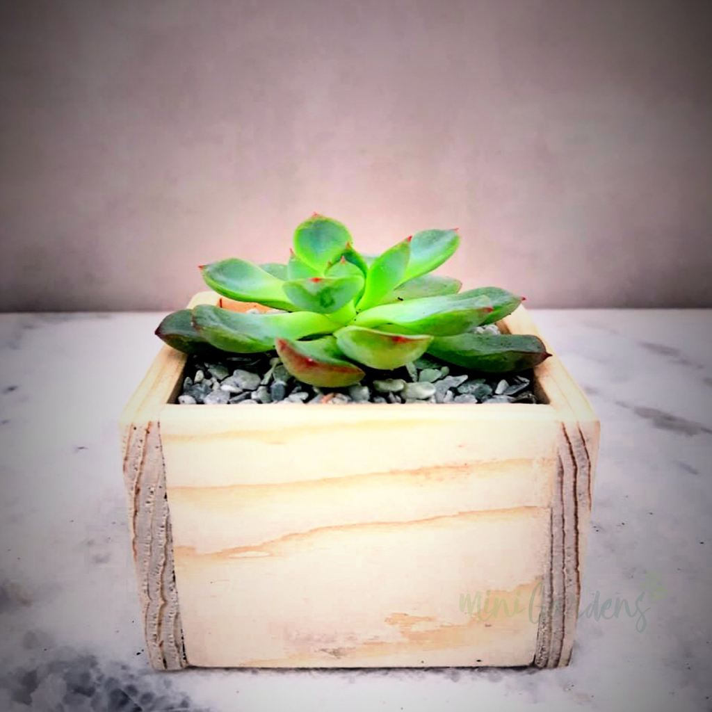 Tiny Garden Party Set Of 50 Pieces Succulents (Wood Square Small) Minigardens.ae Free Shipping Dubai United Arab Emirates