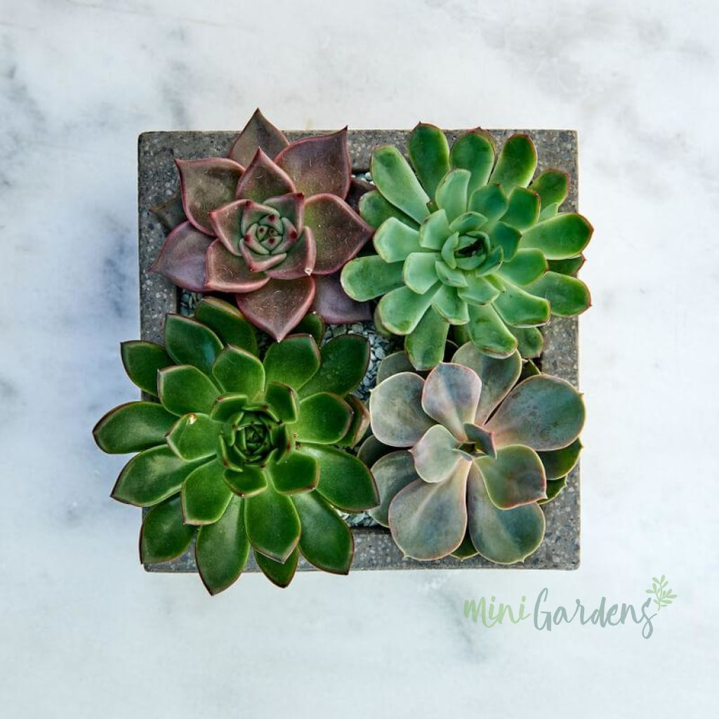 Vibrant Garden Succulents (Concrete Square Medium) Minigardens.ae Free Shipping Dubai United Arab Emirates