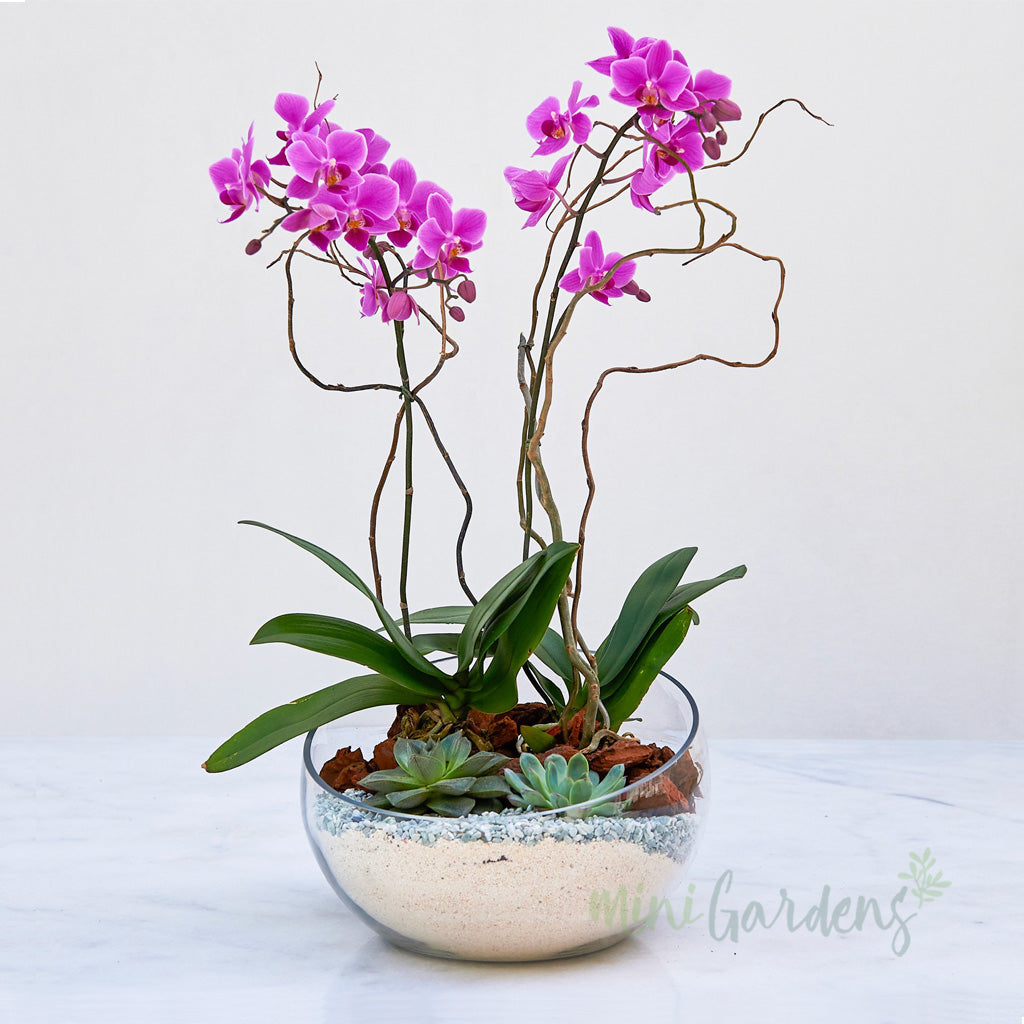 Zeina Orchids Mini Orchids (Glass Bowl Medium) Minigardens.ae Free Shipping Dubai United Arab Emirates All Minigardens Corporate Gifts