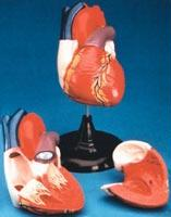 "Jumbo Heart Model | Dissectible Into 3 Parts | 11.75"" x 8"""